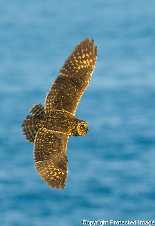 Galapagos Owl in Flight