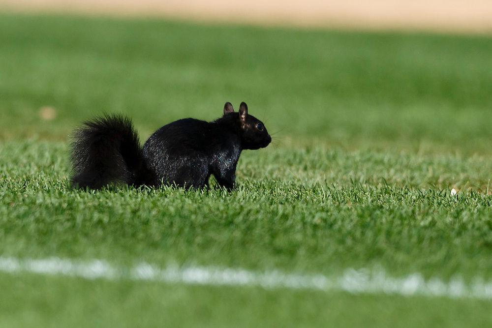 Aug 6, 2015; Detroit, MI, USA; Black squirrel runs onto the field during the eighth inning of the game between the Detroit Tigers and the Kansas City Royals at Comerica Park. Mandatory Credit: Rick Osentoski-USA TODAY Sports