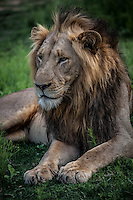 King of the jungle - the male lion in all his splendour near Kruger National Park, South Africa.