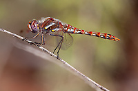 Sympetrum corruptum (Variegated Meadowhawk) ♀ at Oak Springs Canyon, Los Angeles Co, CA, USA, on 14-Oct-18
