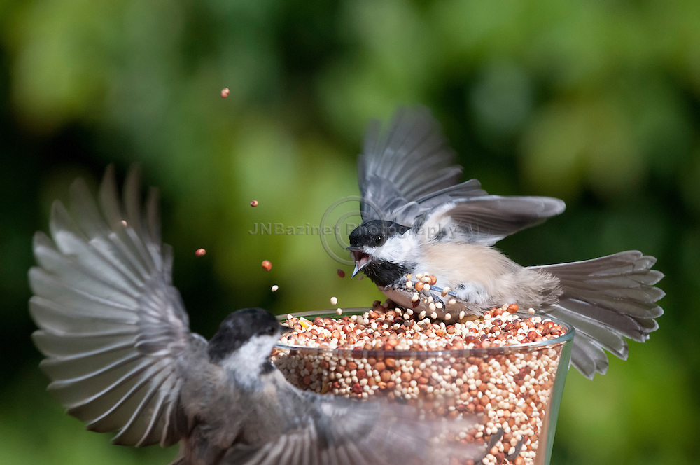 Two chickadees fight over access to bird seed