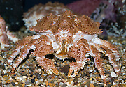 Crab, at the Oregon Coast Aquarium, Newport, Oregon