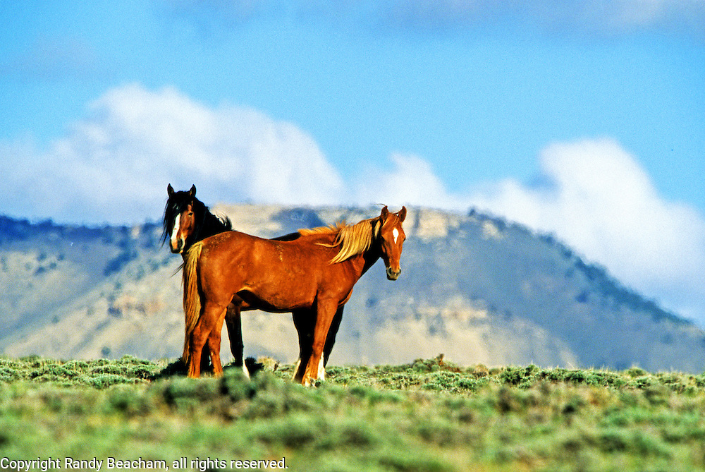 Wild horses in the Red Desert with Oregon Buttes in the Background. Great Divide Basin, southwest Wyoming.