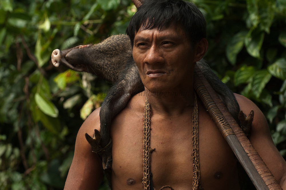 Huaorani Indian - Ontagamo Kaimo carrying a peccary that he hunted for food. Gabaro Community. Yasuni National Park.<br /> Amazon rainforest, ECUADOR.  South America<br /> This Indian tribe were basically uncontacted until 1956 when missionaries from the Summer Institute of Linguistics made contact with them. However there are still some groups from the tribe that remain uncontacted.  They are known as the Tagaeri &amp; Taromenani. Traditionally these Indians were very hostile and killed many people who tried to enter into their territory. Their territory is in the Yasuni National Park which is now also being exploited for oil.
