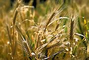 Gramma Grass Mesquite Grass