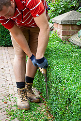 Trimming a box hedge - Buxus sempervirens - with hand shears