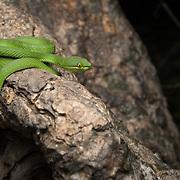 White-lipped Pit Viper (Trimeresurus albolabris) male subadult at Khao Luang Cave (Tham Khao Luang), Phetchaburi, Thailand