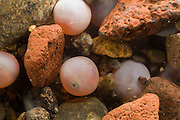 Coho salmon (Oncorhynchus kisutch) eggs in a redd at 10 weeks after spawning. The female salmon digs the redd, or nest, and after depositing her eggs, she will gently fan rocks and gravel over the eggs to protect them from predators. Water temperature, water flow and oxygen content are all critically important for the developing salmon eggs. At this stage, the small eyes of the developing fish are visible through the transparent skin of the egg.  Washington.