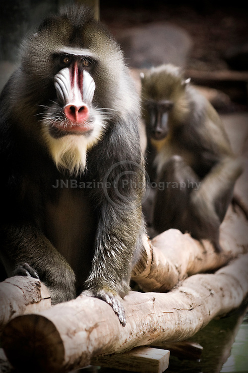 The mandrill is recognized by its olive-colored fur and the colorful face and rump of males.