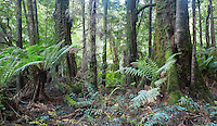 Tree ferns and mossy trees in cool, temperate rainforest in Tasmania, Australia