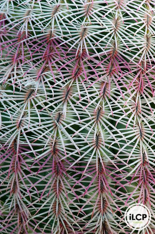 Mammillaria cactus.