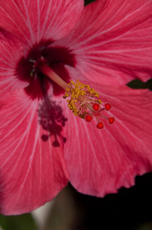 Hibiscus Flower, Vero Beach, Florida, US
