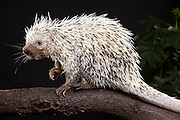 The Brazilian Porcupine (Coendou prehensilis) is a porcupine found in tropical forests in Brazil, Argentina, Venezuela, the Guyanas, and Bolivia. Captive. © Michael Durham / www.DurmPhoto.com