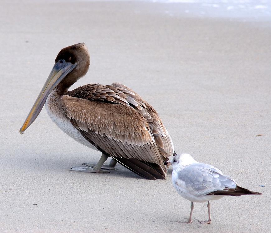 NC Coastal Birds