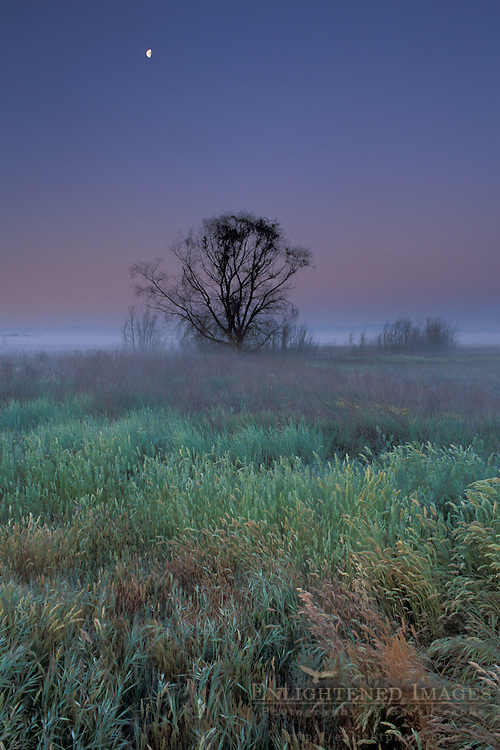 Moonset at dawn over lone tree and grass field, Great Grasslands State Park, Merced County, California