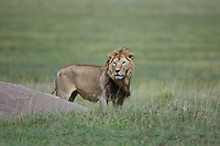 Male lion (Panthero leo) standing in the short grass plains near a kopje rock.