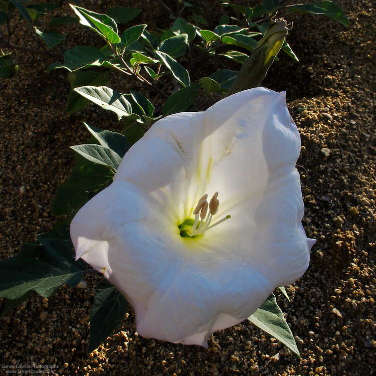 The large white flower of the Sacred Datura, Datura meteloides or Datura wrightii, blooms in the evening and last only into the next morning in the Sonoran Desert of Arizona.