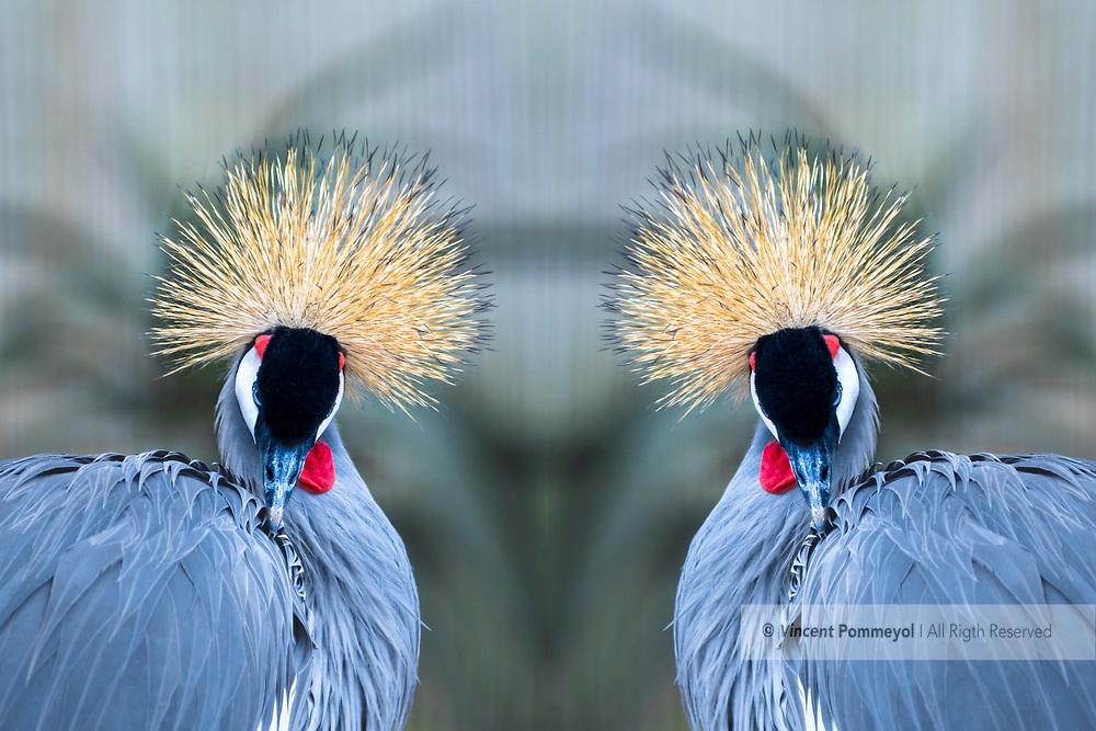 Grey crowned crane-Grue royale (Balearica regulorum), Kwazulu Natal, South Africa.