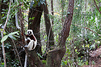 White-headed lemur with brown and white fur in a lush forest. Magical Madagascar. Wildlife fine art photography prints for sale. Nature wall art prints for sale.