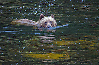 Coastal Brown Bear swimming in a salamon river at Pavlof Harbor on Chichagof Island in Southeast Alaska.