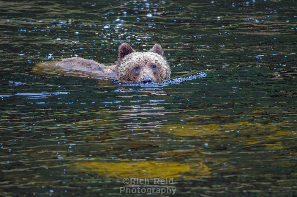 Coastal Brown Bear swimming in a salamon river at Pavlof Harbor on Chichagof Island in Southeast Alaska.