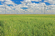 Field of oats and wind turbines<br /> Rosenhof<br /> Saskatchewan<br /> Canada
