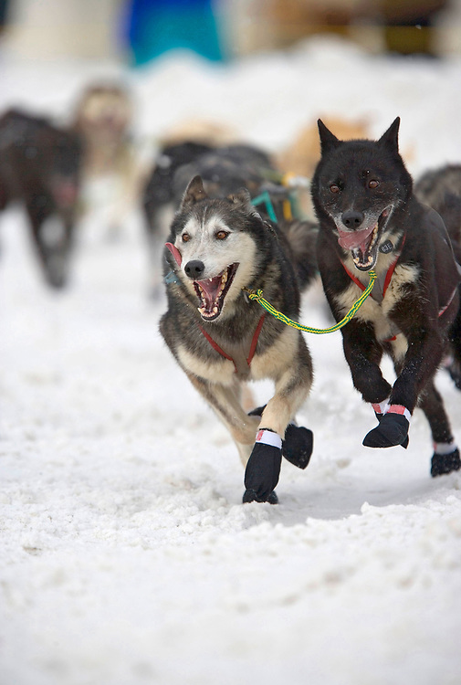 USA, Alaska, Anchorage, Sled dogs run through snow down 4th Avenue at start of 2005 Iditarod sled dog race