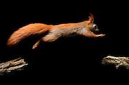 DEU, Deutschland: Europäisches Eichhörnchen (Sciurus vulgaris), im Sprung, der Schwanz übernimmt dabei die wichtige Rolle des Steuerorgans, Eckernförde, Schleswig-Holstien | DEU, Germany: Eurasian Red Squirrel (Sciurus vulgaris), jumping, the tail used as an inceptor, Eckernfoerde, Schleswig-Holstein