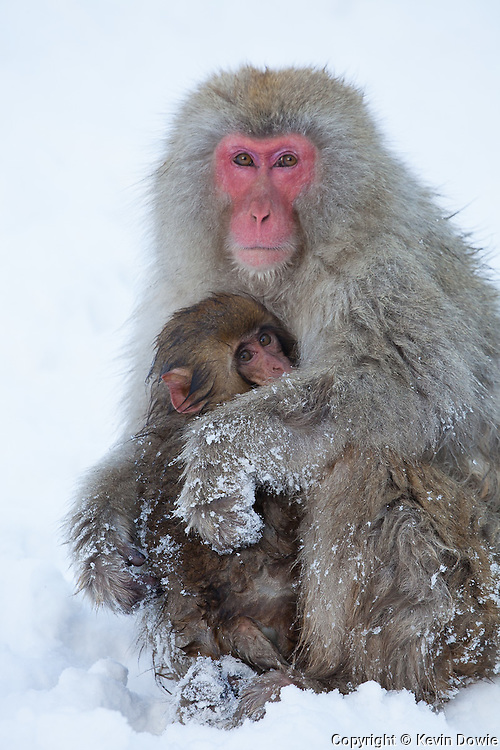 Snow monkey, mother clutching infant