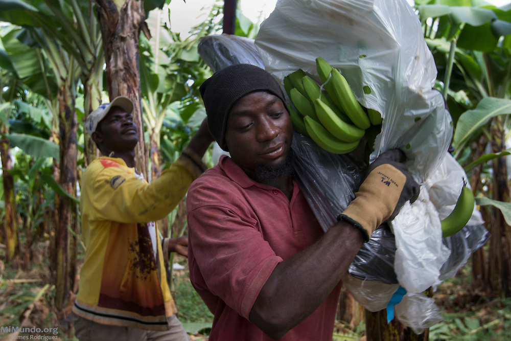Foreman Jean-Louis Pierre (left), 36, harvests a banana bunch at BANELINO producer Erick Almanzar's banana fields as Daphnew Davis, 23, holds it before carrying it to a nearby hook-and-rail system. BANELINO is an association of small producers in northern Dominican Republic that exports organic bananas certified by the Fairtrade Labelling Organization (FLO). Mao, Valverde, Dominican Republic. December 3, 2014.