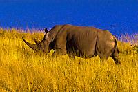 Black Rhinoceros, Etosha Pan, Etosha National Park, Namibia