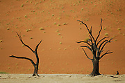 Zwischen den roten Sanddünen des Sossusvlei liegt die berühmte Salzpfanne Deadvlei mit ihren 5000 Jahre alten, abgestorbenen Baumskeletten. |Sesriem Sossusvlei sand dune. Deadvlei. Dried up salt pan and 5000 year old tree stumps
