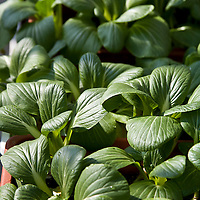 Bok choy plants in a window box container garden