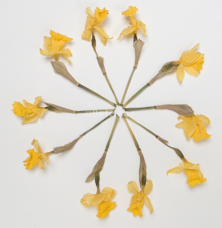 Daffodils arranged circular seen from above.