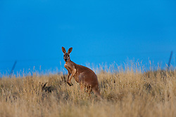 A male red kangaroo  (Macropus rufus) sits in front of the rabbit fence separating New South Wales from Queensland,  Sturt Stony Desert,  Australia