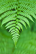 Wood fern leaves (Dryopteris expansa).