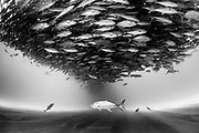México, Sea of Cortez, Cabo Pulmo. A school of jacks near the sandy bottom some 80 ft deep.