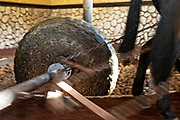 A donkey-pulled tahona or stone wheel mill crushes blue agave fibers at the Casa Siete Leguas, El Centenario tequila distillery in Atotonilco de Alto, Jalisco, Mexico. The Seven Leagues tequila distillery is one of the oldest family owned distilleries and produces handcrafted tequila using traditional methods.