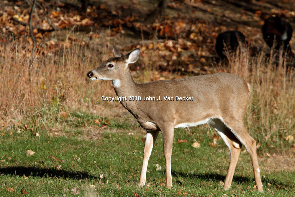 A White-tailed Deer Doe, Odocoileus virginianus, at the edge of a wood in Autumn. Rifle Camp Park, Woodland Park, New Jersey, USA, North America.