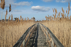 wooden boardwalk in a grassy area in Westhampton,NY