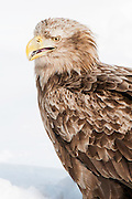 JAPAN, Eastern Hokkaido.White-tailed sea eagle (Haliaeetus albicilla)