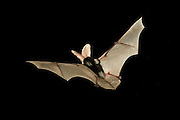 A spotted bat flying at night in the Kaibab National Forest, Arizona. (1.5 miles from the edge of the Grand Canyon)