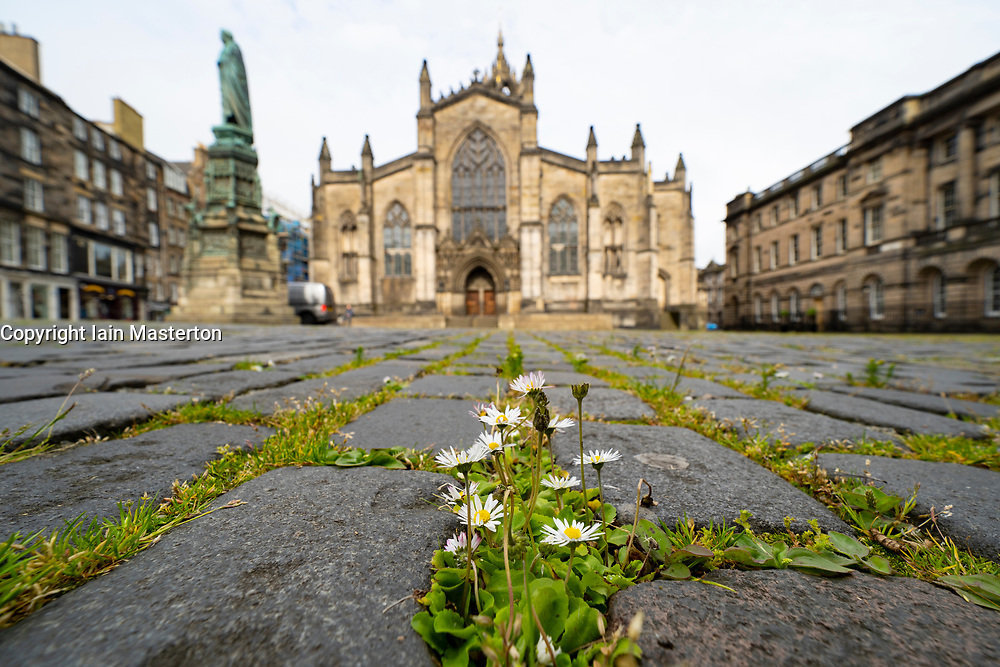 Edinburgh, Scotland, UK. 16 June, 2020. As shops open in England, Scottish shops and businesses remain closed, Streets are empty and pubs and shops are still closed with many boarded up. Bars might be allowed to open outside areas at end of week but currently they are only-permitted  to serve drinks to takeaway. Pictured; Weeds and flowers are growing amongst cobbles in Parliament Square because of the lack of people. Iain Masterton/Alamy Live View.