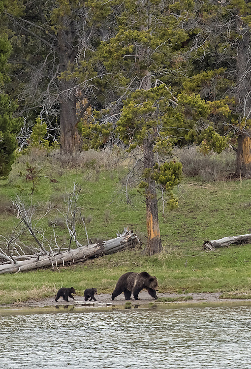 A caring and protective mother, the grizzly sow Blaze, guides her two tiny cubs-of-the-year along the shore of Indian Pond. These cubs will stay with Blaze until they reach two years of age, at which time Blaze will chase them off, leaving the bewildered cubs to fend for themselves for the first time since their birth.