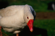 ADD2WF White Embden English goose head close up