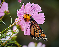 Monarch butterfly feeding on a Cosmos flower. Image taken with a Nikon 1V3 camera and 70-300 mm VR lens