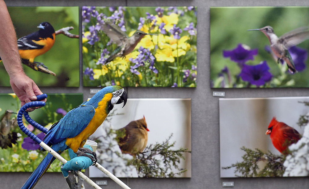 Sam the retired 27-year-old blue and gold macaw from the Kahiki Restaurant admires David and Joanne Kelch's bird photography while being pushed around the Worthington Art Festival by his owners Jim Rush and Beth Mitchell, not pictured, on June 21. Sam, who worked at the Kahiki from 1982 until it closed in 2000, was admired by festival goers young and old throughout the morning.