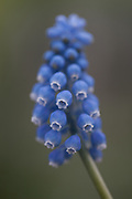 Muscari armeniacum 'Cupido' - Armenian grape hyacinth