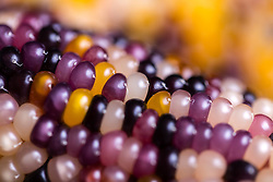 Extreme close up of Multicoloured Corn