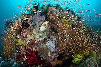 Golden Sweepers swarm a coral bommie with sponges and feather stars..Shot in Indonesia